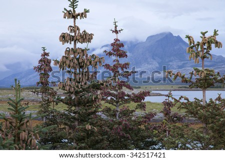 Sitka spruce, originating from North America, grows fast and spreads well at treeless coastal areas in Western Norway, possibly causing biodiversity loss and thus being subject of heated discussions. - stock photo