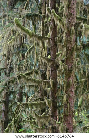 Sitka spruces in low elevation temperate rainforest in Pacific Northwest, Olympic National Park, Washington