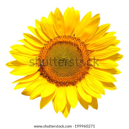 Sits on an isolated sunflower wasp - stock photo