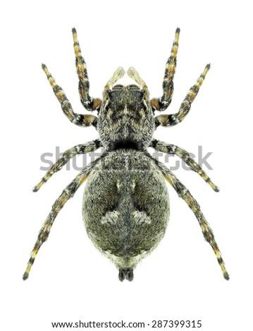 Sitticus floricola (female) on a white background - stock photo
