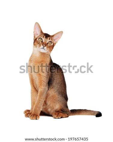 bengal cat life expectancy