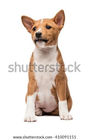 Sitting basenji puppy looking sideways  - stock photo