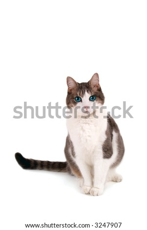 Sitting, blue-eyed kitty looking at you. - stock photo