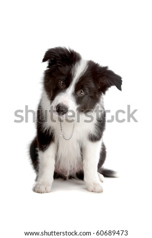 Sitting Border Collie puppy dog looking into the camera isolated on a white background - stock photo