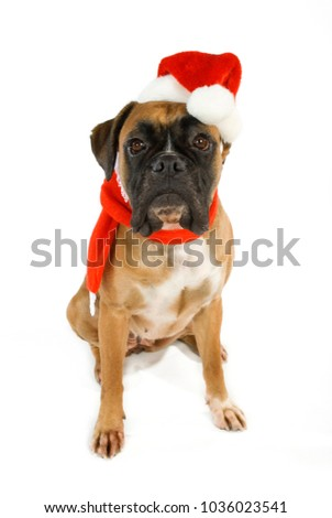 Sitting boxer dog with santa hat isolated on white background