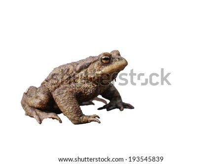 sitting brown toad on white background
