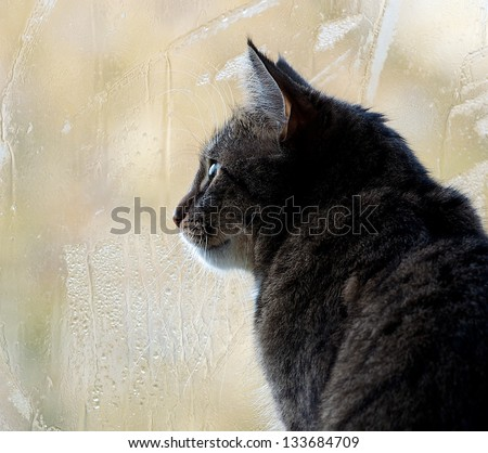 Sitting cat and watching through the window on a yellow light blur window background with rain drops, watching cat close up, cat looking right, autumn rain and kitten, watching birds