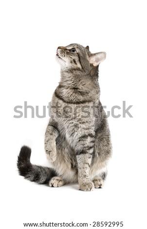 Sitting Cat isolated on white - stock photo