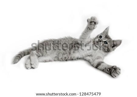 sitting  cat isolated on white background - stock photo