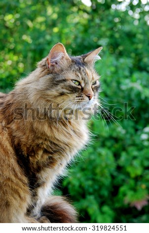Sitting Cat Outdoors. Satisfied Grey Cat sitting on Wood at the Grass Background