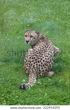 Sitting cheetah looking directly at the camera - stock photo