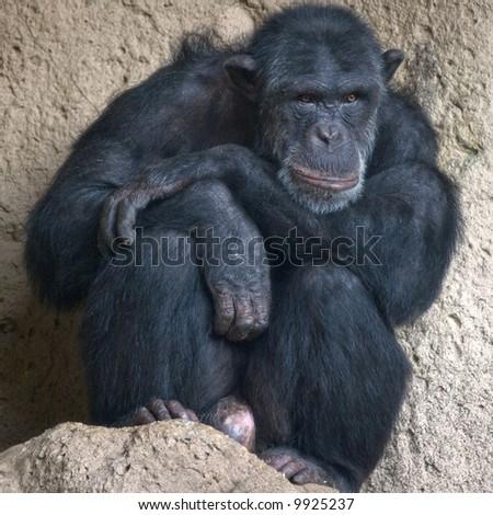Sitting chimp - taken at Loro Parque, Tenerife, Canary Islands - stock photo