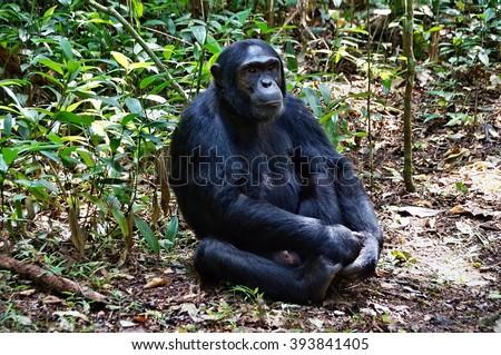 Sitting chimpanzee in Kibale Forest National Park, Uganda - stock photo