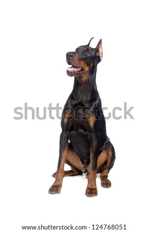 Sitting doberman dog isolated on white - stock photo