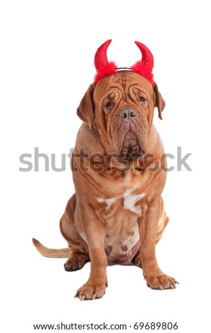 Sitting dogue de bordeaux with red horns isolated on white background - stock photo