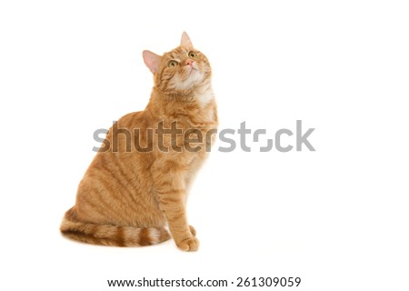 Sitting ginger cat, looking up. Isolated on white. - stock photo
