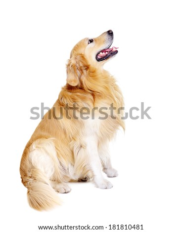sitting golden retriever looking up side view - stock photo
