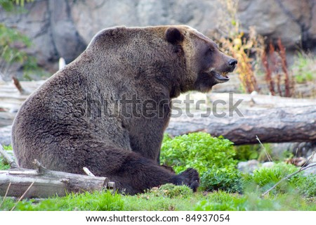 Sitting Grizzly Bear