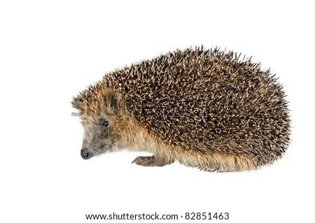 sitting hedgehog on white background - stock photo