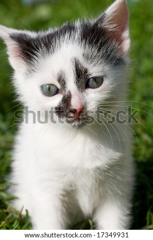 sitting kitten on green grass background