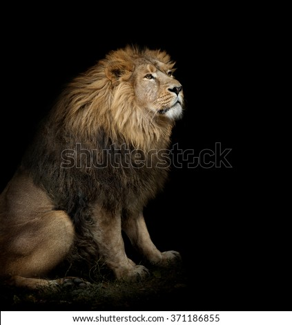sitting lion on black background - stock photo