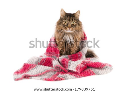 Sitting long haired cat, covered with a woolen shawl, isolated on ...