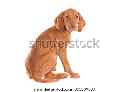 Sitting Magyar Vizsla puppy, looking at camera. Isolated on white.  - stock photo
