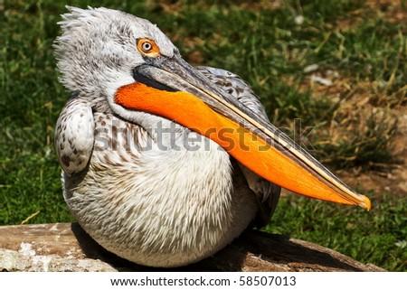 sitting pelican - stock photo