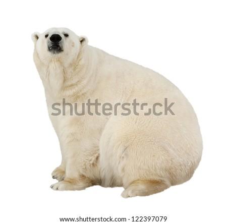 Sitting polar bear. Isolated over white background - stock photo