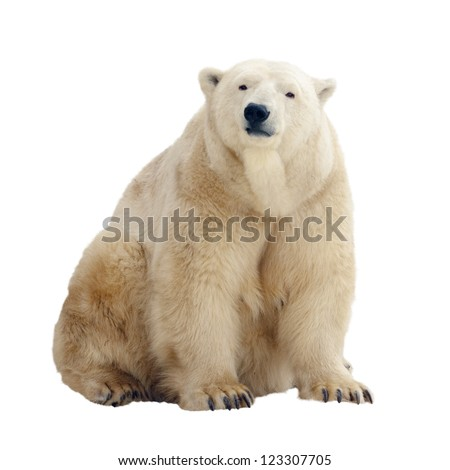 Sitting polar bear. Isolated over white background - stock photo