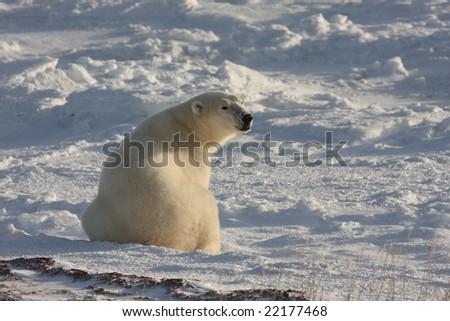 Sitting polar bear sniffing the air - stock photo