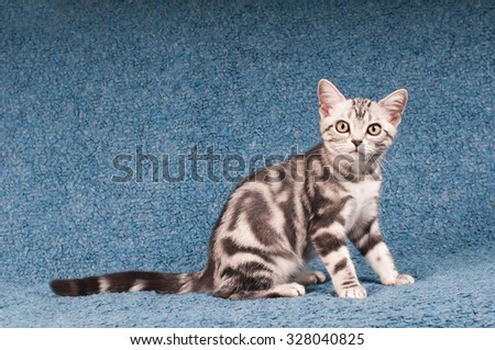 Sitting portrait of american shorthared kitten on sofa