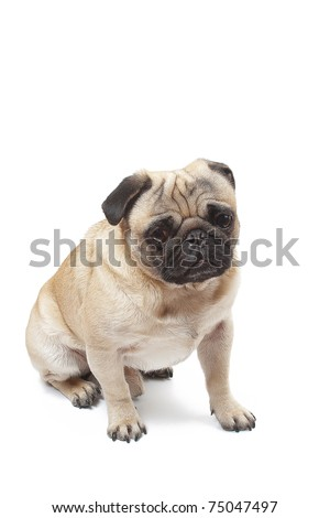 sitting pug - stock photo
