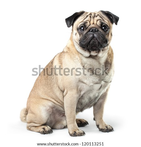 Sitting Pug isolated on White Background with soft shadow. - stock photo