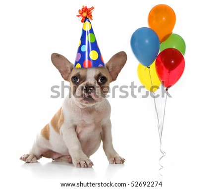 Sitting Puppy Dog With Birthday Party Hat and Balloons. Studio Shot - stock photo