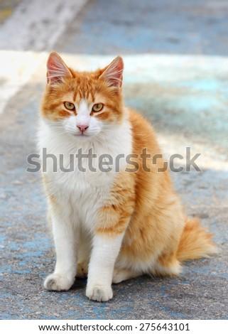 sitting red cat - stock photo