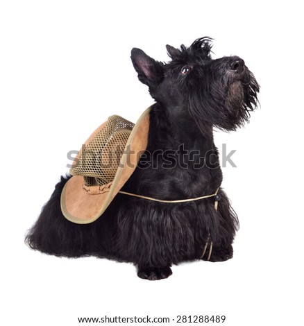 Sitting scotch terrier in hat on a white background - stock photo