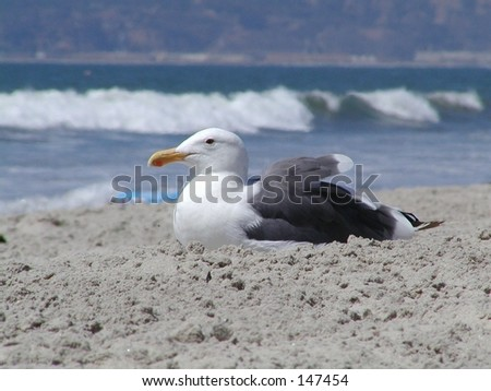 Sitting Sea Gull
