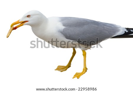 Sitting seagull isolated over white background including clipping path with cookie in its beak