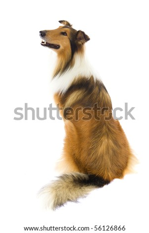 Sitting Shetland Islands  Collie isolated on white background - stock photo