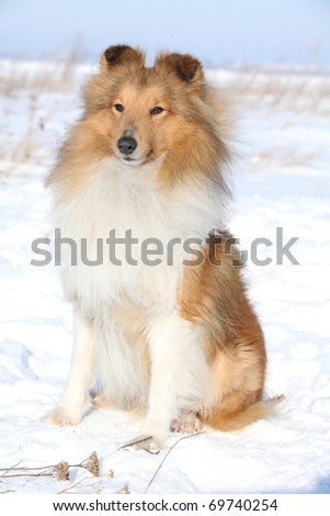 Sitting Shetland Sheepdog in winter - stock photo