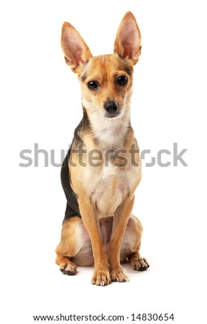 sitting small dog (Russian toy terrier) over white