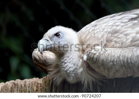 sitting Snow vultures - stock photo