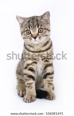 sitting tabby British kitten