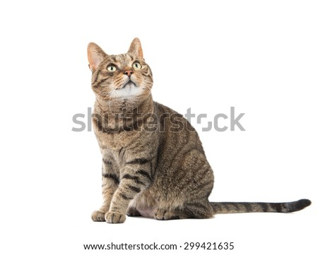 Sitting tabby cat looking up at an isolated white background