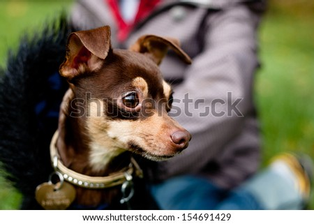 Sitting toy terrier in black coat in front of a person on a green grass  - stock photo