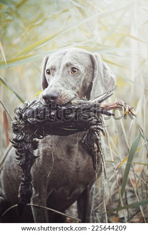 Sitting weimaraner dog holds in its mouth pheasant duck hunting - stock photo