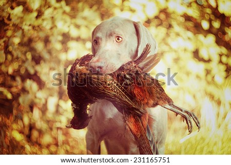 sitting weimaraner dog hunting and holding pheasant autumn nature - stock photo