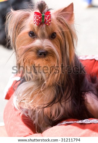 Sitting yorkshire terrier - stock photo