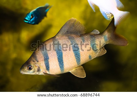 six barred distichodus fish - stock photo